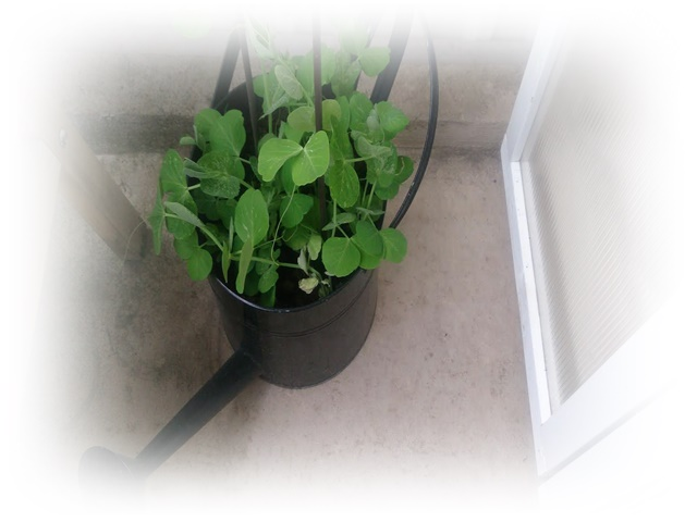 luktärtor-balkong-odling