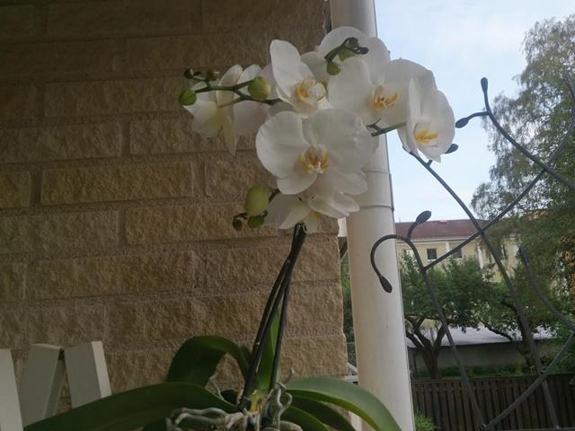 vit orkidee